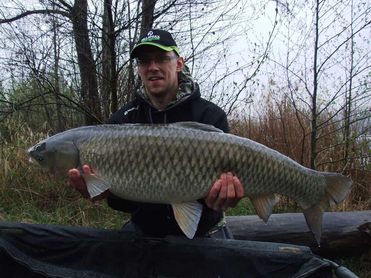 Polish grass carp pallatrax catch more fish for Grass carp fish